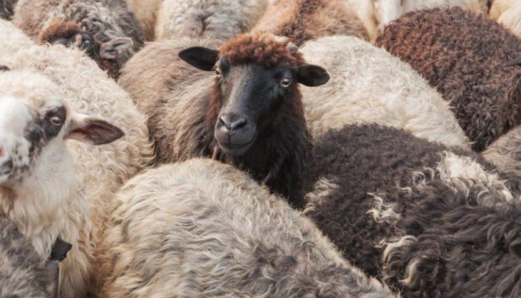 sheep_826_465